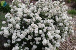 choisya ternata White Dazzler 2